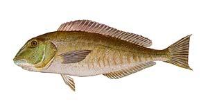 Tile Fish