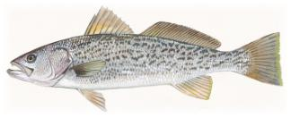 Grey Trout