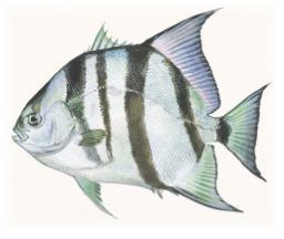 Spadefish